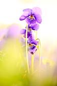 France, Alpes Maritimes, Tourrettes sur Loup, Quentin production, violet culture Tourrettes