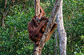 Female orangutan with cub in Tanjung Puting National Park, Borneo Island, Indonesia, Southeast Asia, Asia