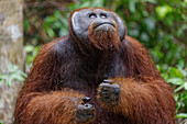 Male orangutan in Tanjung Puting National Park, Borneo Island, Indonesia, Southeast Asia, Asia