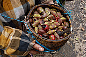 Abundant harvest: Kenari nuts and nutmegs, Indonesia, Southeast Asia, Asia