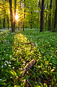 Wild garlic, spring, forest, blossom, sunset, sun, Leipzig, Saxony, Germany