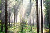Sun rays, forest, trees, summer, Braunlage, Harz, Lower Saxony, Germany, Europe