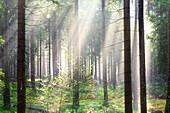 Sonnenstrahlen, Wald, Bäume, Sommer, Braunlage, Harz, Niedersachsen, Deutschland, Europa\n