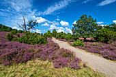 Heath blossom, heather, view, Totengrund, Lueneburg Heath, Lower Saxony, Germany, Europe