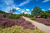 Heideblüte, Heide, Aussicht, Totengrund, Lüneburger Heide, Niedersachsen, Deutschland, Europa\n