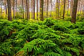 Farne, Wald, Herbst, Laubfärbung, Nationalpark, Sächsische Schweiz, Deutschland, Europa\n