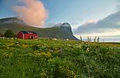 Flower meadow with wooden house in Myrland, sunset, Flakstadoeya, Lofoten, Nordland, Norway, Europe