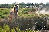 France, Bouches du Rhone, Parc naturel regional de Camargue (Regional Natural Park of Camargue), around Malagroy pond, manade Jacques Mailhan, Camargue horse