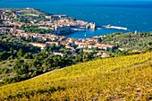France, Pyrenees Orientales, Cote Vermeille, Collioure and its vineyard