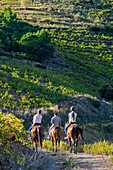 France, Pyrenees Orientales, Cote Vermeille, Banyuls-sur-Mer, horseback riding in the Banyuls vineyard along the GR 10, long-distance footpath that crosses the Pyrenees from Banuyls to Hendaye