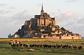 France, Manche, Mont Saint Michel Bay listed as World Heritage by UNESCO, Abbey of Mont Saint Michel, salt meadow sheep at sunrise