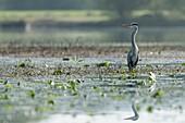 France, Morbihan, La Gacilly, Glenac marshe, grey heron (Ardea cinerea)