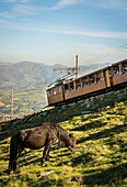 France, Pyrenees Atlantiques, Basque country, Ascain, Pottocks, pony race, on the slopes of the Rhune (905m) in front of the little train