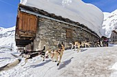 France, Savoie, Vanoise National Park, Bonneval sur Arc, labelled Les Plus Beaux Villages de France (The Most Beautiful Villages of France), the highest village of Haute Maurienne (1850 m), race of dogs of sleds the Lekkarod