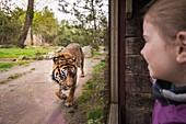 France, Sarthe, La Fleche, La Fleche Zoo, family observation of a Sumatran Tiger (Panthera tigris sumatrae)otection Status, Washington Convention Appendix I A (CITES), IUCN Status, Critical Risk of Extinction (CR)