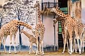France, Sarthe, La Fleche, La Fleche Zoo, giraffon between the legs of elders, IUCN Status, Minimum Risk, Dependent on Conservation Measures (LR-cd)