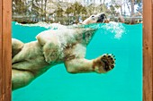 France, Sarthe, La Fleche, La Fleche Zoo, Taïko, male polar bear (Ursus maritimus) swimming in its basinotection status, Washington Convention Appendix II B (CITES), IUCN Status, Minimum risk, dependent on conservation measures (LR-cd)