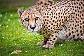 France, Sarthe, La Fleche, La Fleche Zoo, Cheetah (Acinonyx jubatus)otection Status, Washington Convention Appendix I A (CITES), IUCN Status, Vulnerable (VU)
