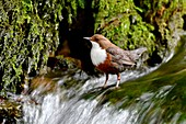 France, Doubs, bird, passerine, diving Cincle (Cinclus cinclus)