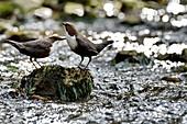 France, Doubs, bird, passerine, diving Cincle (Cinclus cinclus)