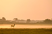 Puku in mist at sunrise,Busanga Plains,Kafue National Park,Zambia