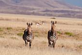 Pair of hartmann's mountain zebras (Equus zebra hartmannae),Palmwag Concession,Damaraland,Namibia