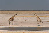 Pair of giraffes (Giraffa camelopardalis) at waterhole,Etosha National Park,Namibia