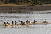 Migrating plains zebras (Equus quagga) running in lake,Ndutu,Ngorongoro Conservation Area,Serengeti,Tanzania