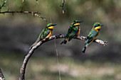 Three little bee-eaters (Merops pusillus) sitting on branch,Ndutu,Ngorongoro Conservation Area,Serengeti,Tanzania