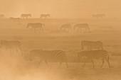 Plains zebras (Equus quagga) walking in dust at sunset,Hidden Valley,Ndutu,Ngorongoro Conservation Area,Serengeti,Tanzania