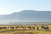 Zeal of common zebras (Equus quagga),Ngorongoro crater,Ngorongoro Conservation Area,Serengeti,Tanzania