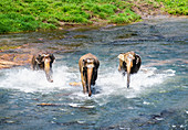 Elephants bathing in stream,Pinnawala elephant sanctuary,Sabaragamuwa Province,Sri Lanka