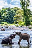 Elephants bathing in stream,Pinnawala elephant sanctuary,Sabaragamuwa Province,Sri Lanka