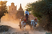 Bullocks and cart in dramatic evening light on a dusty road at Shwenanyindaw Monastic, Bagan (Pagan), Myanmar (Burma), Asia