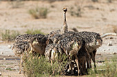 Ostrich (Struthio camelus) chicks, Kgalagadi Transfrontier Park, South Africa, Africa