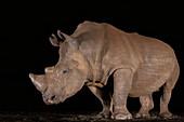 White rhino (Ceratotherium simum) at night, Zimanga private game reserve, KwaZulu-Natal, South Africa, Africa