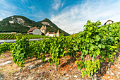 Grapes in the vineyards surrounding Aigle Castle, canton of Vaud, Switzerland, Europe