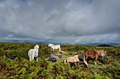 Horses by the Offa's Dyke path on Hergest Ridge, Herefordshire, England, United Kingdom, Europe