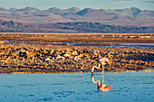 Flamingos in Salar de Atacama, Chile, South America