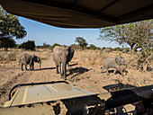 African bush elephants (Loxodonta africana), near a safari truck in South Luangwa National Park, Zambia, Africa