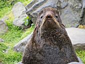 Adult bull northern fur seal (Callorhinus ursinus) on St. Paul Island, Pribilof Islands, Alaska, United States of America, North America