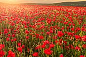 Rote Mohnblumen, beleuchtetes Feld bei Sonnenaufgang, schöne wilde Blumen, Peak District National Park, Baslow, Derbyshire, England, Vereinigtes Königreich, Europa