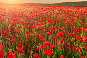 Red poppies, backlit field at sunrise, beautiful wild flowers, Peak District National Park, Baslow, Derbyshire, England, United Kingdom, Europe