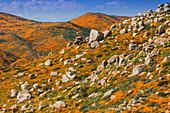 California Superbloom, the Poppy fields of Lake Elsinore, California, United States of America, North America