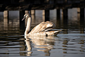 Young swan with reflection in the water on Lake Starnberg, Bavaria, Germany.