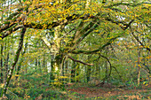 Colorful autumn forest near Saint Saveur le Vicomte on the Cotentin Peninsula, Normandy, France.