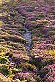 A path leads through the blooming heathland on the high plateau of Cap Frehels, Brittany, France.