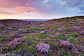 Blooming heathland with a sea view at Cap Frehel, Brittany, France.