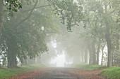 Oak avenue in the fog on a stud farm in Normandy, France.