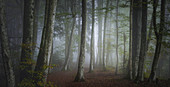 October morning in the beech forest, Upper Bavaria, Bavaria, Germany